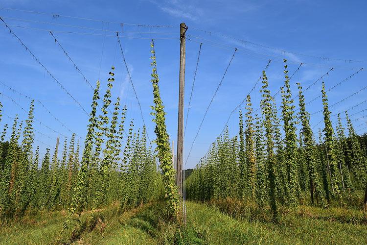 Какая страна европы выращивает в большом количестве хмель?